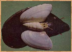 Поделки из раковин мидий